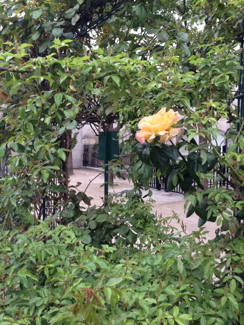 Secret Rose Garden Bloom
